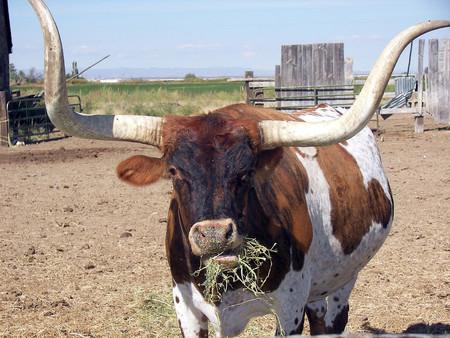 Aunque no lo creas, en algunos lugares de Estados Unidos las vacas son alimentadas con dulces