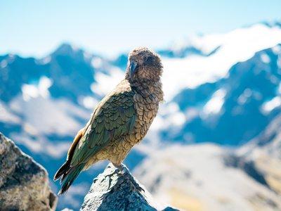 Nueva Zelanda quiere erradicar a todos sus depredadores mamíferos invasores para 2050 y va a usar la edición genética para ello