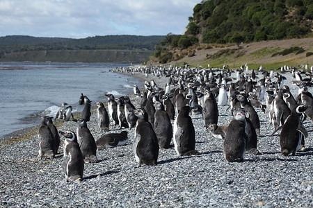 argentina pinguinos