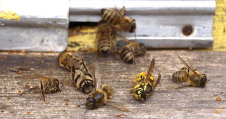 Se destruyen células cancerosas de mama en laboratorio gracias al veneno de la abeja