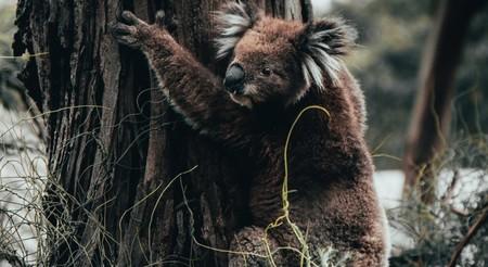 El 80% del hábitat del koala ya está reducido a cenizas: el icónico marsupial está a punto de cruzar la línea de no retorno