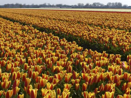 Bloemenroute La Ruta Floral Mas Impresionante De Holanda 2