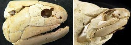 Descubierto un fósil de un pez de 380 millones de años de antigüedad precursor de los primeros animales terrestres