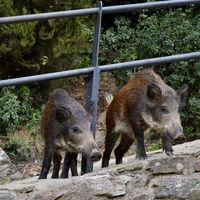 Es el año del cerdo en China. Y Hong Kong lo va a celebrar declarando la guerra a sus jabalíes