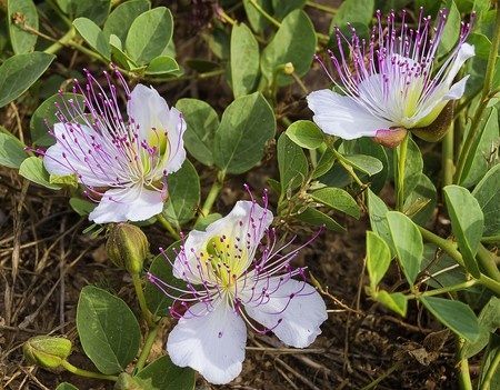 Alcaparras Flor