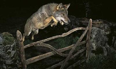 Retiran el premio a José Luís Rodríguez por la foto del lobo