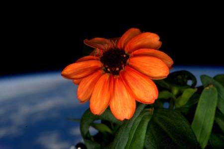 Nuevas formas de vida en la Estación Espacial Internacional: una flor ha crecido en el espacio
