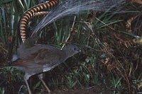 El pájaro que es capaz de imitar el ruido de una cámara de fotos, el derrape de un coche o los pasos de un ser humano