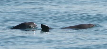 Con menos de 19 ejemplares vivos, la situación de la vaquita marina en México está empeorando dramáticamente