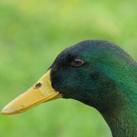 La competición darwiniana de los genitales del pato