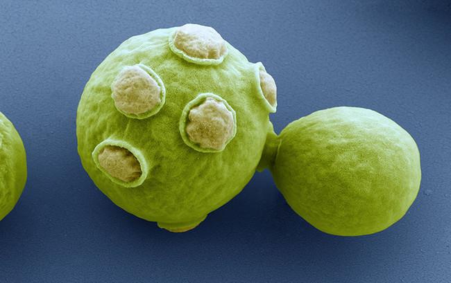 Estas plantas modificadas genéticamente no podrían reproducirse con plantas silvestres