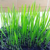Hierba de trigo, una importante fuente de clorofila
