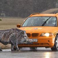 El RACE alerta del aumento de atropellos a animales (sobre todo a perros abandonados y jabalíes)