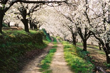 Camino Entre El Bosque De Cerezos En Flor
