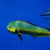 Pez dorado de Nayarit: un tesoro del Pacífico mexicano