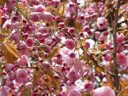 Japanese Cherry Trees 6835 960 720