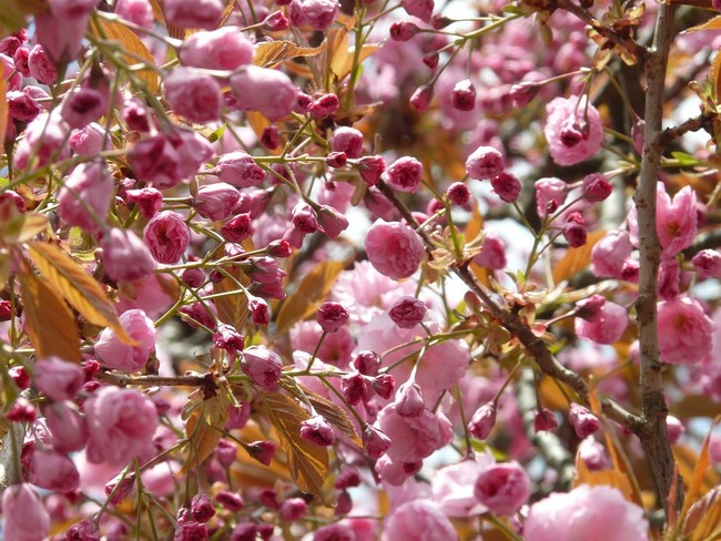 Japanese Cherry Trees 6835 960 720