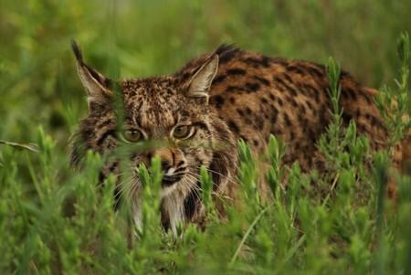 Iberian Lynx Hidding