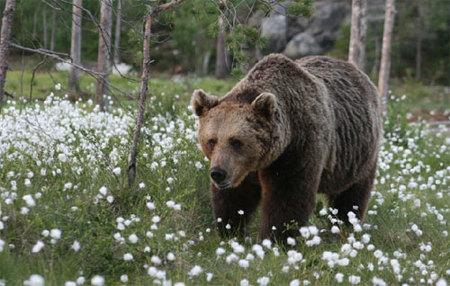 Visita a los osos pardos de Finlanda