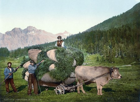 Farmers Harvest Hay In The Engadine Grisons