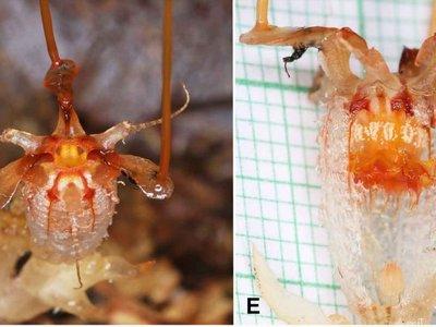 El misterio de la flor fantasma de Beccari: acabamos de encontrar una de las plantas más buscadas (y raras) del mundo