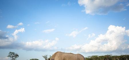 Caza furtiva y medicina tradicional asiática: el cóctel que ha acabado con el rinoceronte blanco