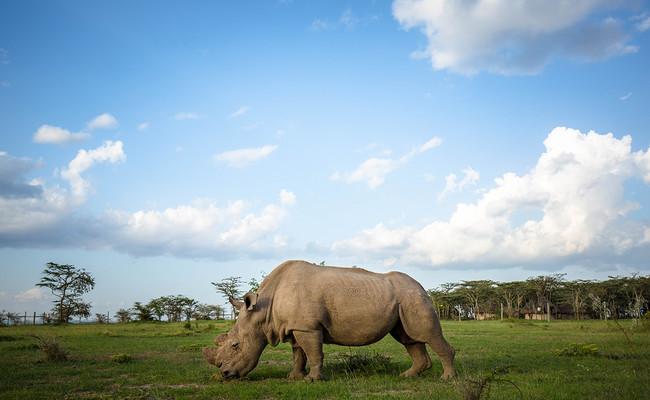 Sudan Rinoceronte Blanco