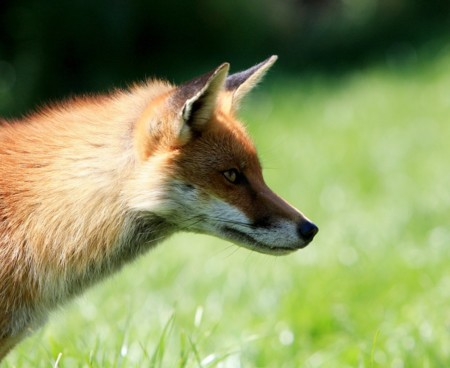Fox 317025 960 720
