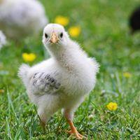 La contaminación con pesticida amenaza a los pollos en Holanda