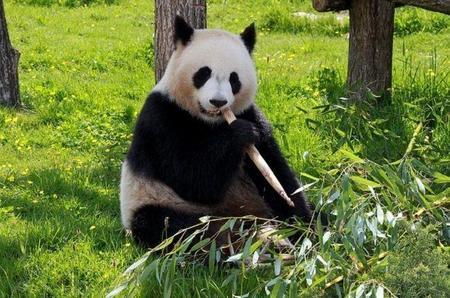 ¿Cómo pueden sobrevivir los osos panda comiendo únicamente bambú?