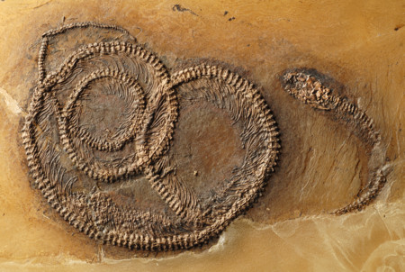 Serpiente come lagarto que ingiere insecto: este fósil es una cadena alimenticia completa
