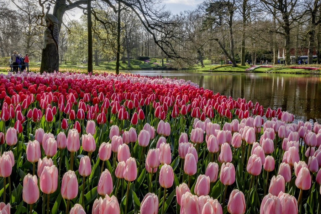 Todo listo para abrir Keukenhof, el mayor y más bello jardín de tulipanes del mundo