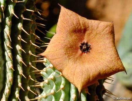Hoodia gordonii, una manera natural de controlar el hambre