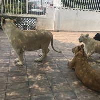 Otra vez: Profepa asegura leones y guacamayas que estaban cautivos en un domicilio de Ciudad de México