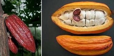 La bebida de cacao es más antigua de lo que se creía