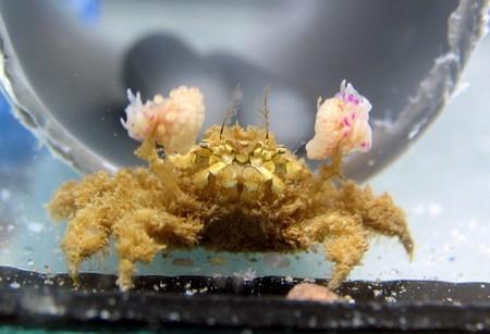 Este cangrejo divide a sus amigos en dos partiéndolos por la mitad