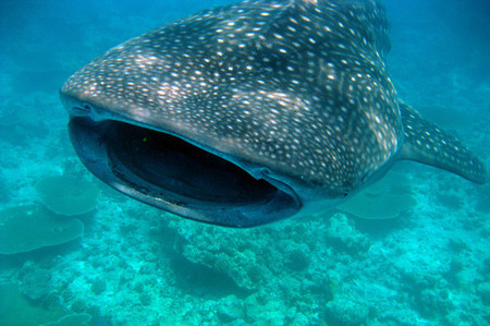 Tiburón ballena. Oslob, Filipinas.