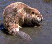 Singularidades extraordinarias de animales ordinarios (X): el castor