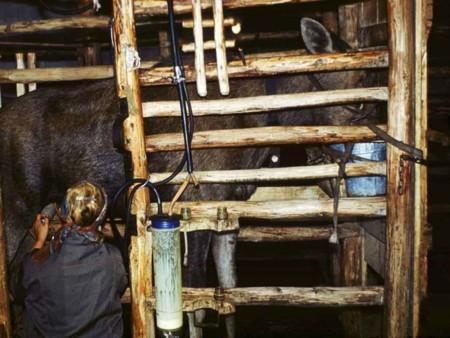 Moose Machine Milking Ss87 810