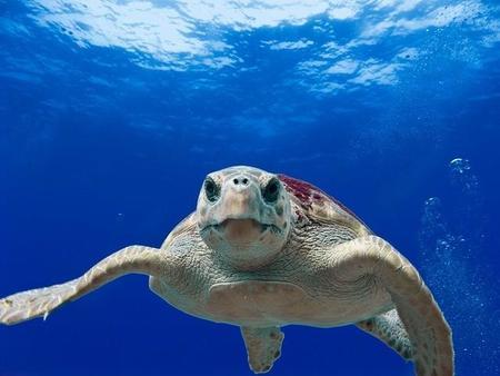 Loggerhead Turtle 123402 640