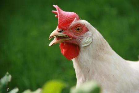 Pollos sin cabeza