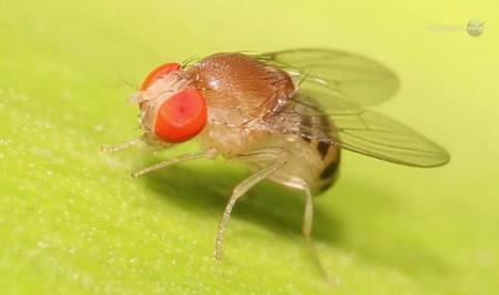Investigadores de la NASA pretenden llevar a vivir moscas de fruta al espacio