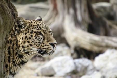 Persian Leopard 1660320 1920