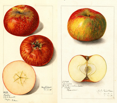 ¿Cómo eran las manzanas hace un siglo? Una fascinante colección de acuarelas tiene la respuesta