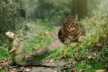 Los gatos no son ta buenos cazadores de ratas como se creía
