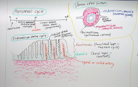 ¿Qué nos puede enseñar el primer modelo de laboratorio del ciclo reproductivo femenino?