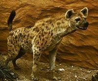 Singularidades extraordinarias de animales ordinarios (XXVII): la hiena