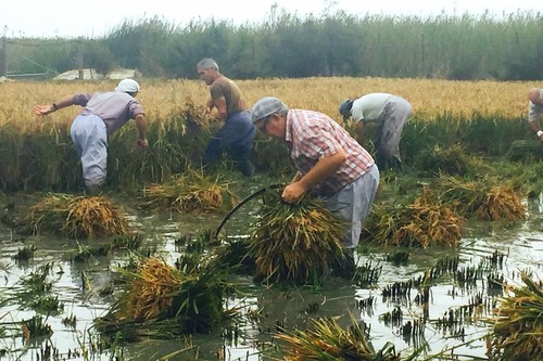 La fiesta de la Siega del arroz en Amposta, Delta del Ebro