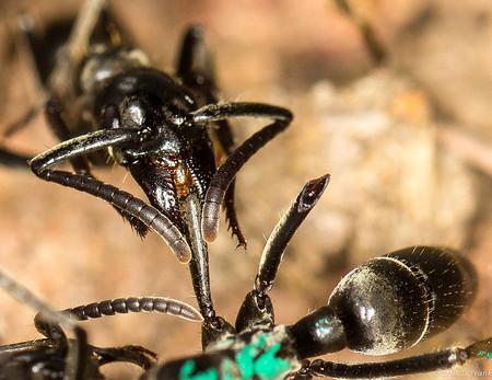 Así es cómo las hormigas heridas en combate ayudan a sus compañeras