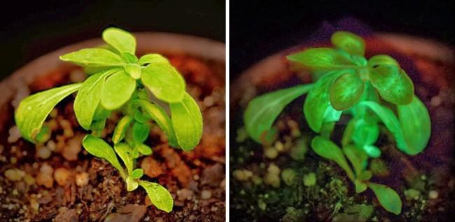 Starlight Avatar Primera Planta Bioluminiscente Del Mundo 2